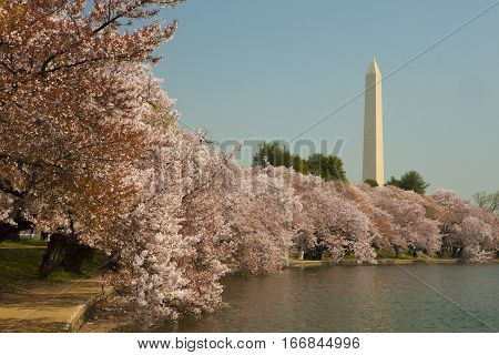 Washington monument white cherry blossom in bloom