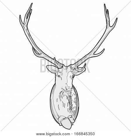 Mounted head of deer. Stuffed stag with monumental antlers. Hunting antique trophy. Taxidermy of deer´s head hung on white wall. Outlined illustration master vector.