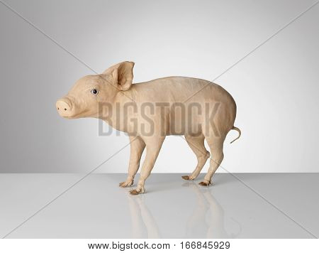Taxidermy Pig on grey background and surface