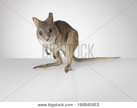 Taxidermy Wallaby on grey background and surface
