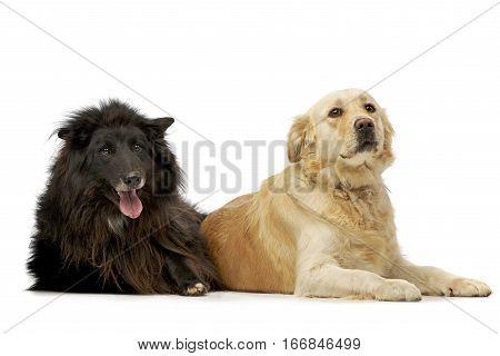 Studio Shot Of An Adorable Belgian Shepherd And A Mixed Breed Dog