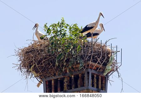 White storks (Ciconia ciconia) in a nest build on a chimney of old deserted house (Slovenia).