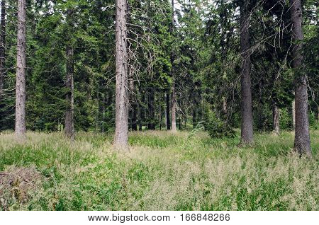 An example of acidophilous Picea forest of the montane to alpine levels (Vaccinio-Piceetea).