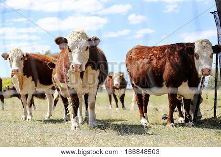 Herd Of Cattle In The Pen Outdoor In  Mudgee, Australia