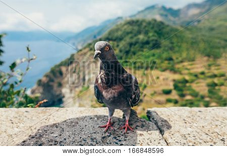Funny pigeon close up in Italy . Nature background