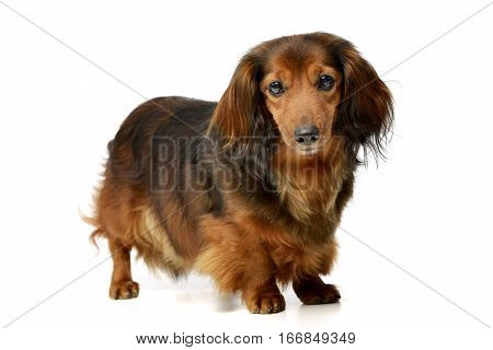 Studio Shot Of An Adorable Longhaired Dachshund