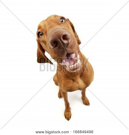 Wide Angle Studio Shot Of An Adorable Hungarian Vizsla
