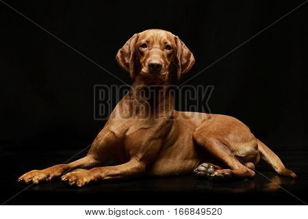 Studio Shot Of An Adorable Hungarian Vizsla