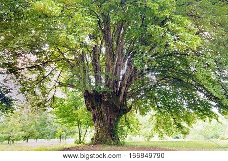 Old common hornbeam (Carpinus betulus) tree with huge crown.