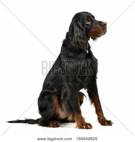 Studio Shot Of An Adorable Gordon Setter