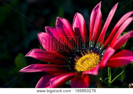 Flower Gazania Daisy is a wonderful beds and good decoration summer outdoors perild