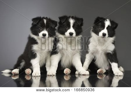 Studio Shot Of Three Cute Border Collie Puppy