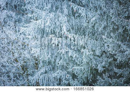 Hoarfrost On Spruce Branch.
