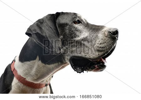 Studio Shot Of An Adorable Great Dane Dog
