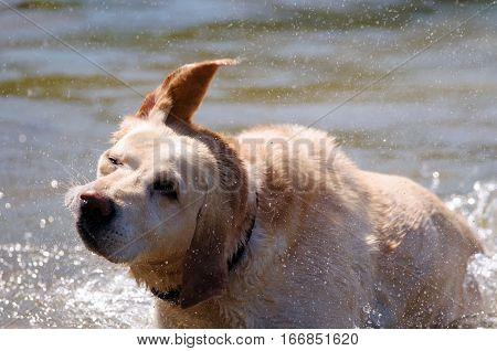 Golden retriever is enjoying a bath in hot summer day.