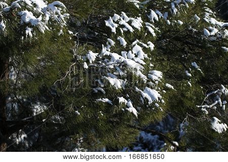 Winter nature. Trees in snow covered forest.