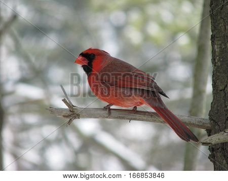 Male red cardinal on branch facing left