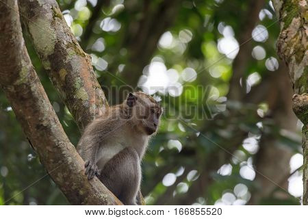 Wild Monkey perched on a tree in tropical rainforest in Pulau Ubin Singapore Island