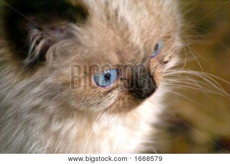 Curious Himilayan Kitten