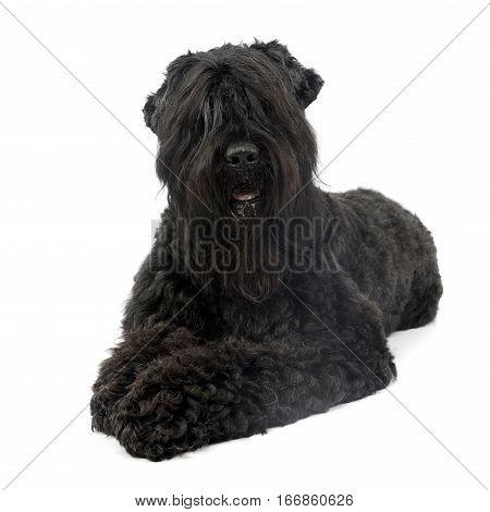 Studio Shot Of An Adorable Black Russian Terrier