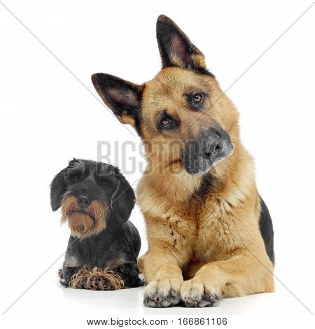 Studio Shot Of An Adorable Wire Haired Dachshund And A German Shepherd