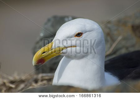 An up close view of only the head of a seagull as she lies on her eggs between some rocks.