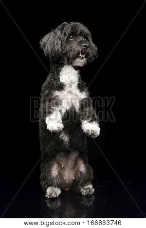 An Adorable Havanese Dog Standing On Two Legs