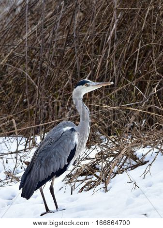 grey heron on snow during winter birdwatching