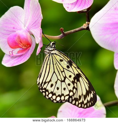 butterfly idea leuconoe sitting on pink flower
