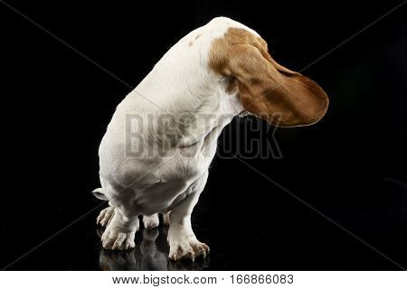 Studio Shot Of An Adorable Basset Hound