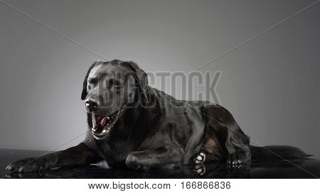 Studio Shot Of A Yawning Mixed Breed Dog
