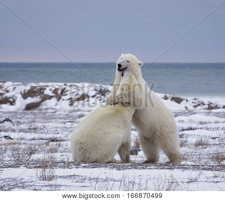 Two polar bears sparring on the coast of the Hudson Bay in Churchill, Manitoba, Canada