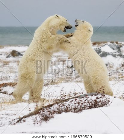 Two polar bears sparring on the coast of the Hudson Bay, in Churchill, Manitoba, Canada.