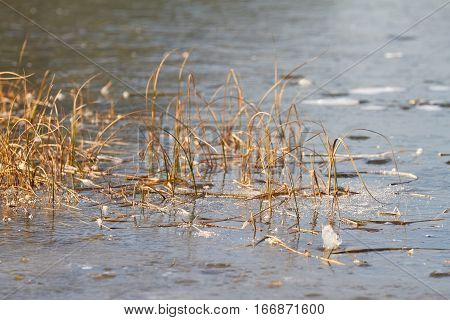 On the shore of a lake, reeds grow in an ice cover.