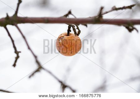 old rotten apple hanging on  branch  on winter day. frozen apples