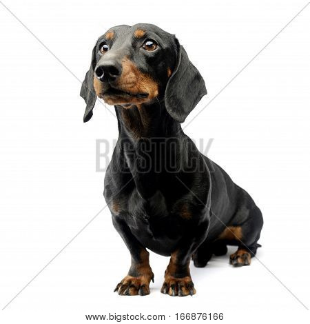 Studio Shot Of An Adorable Short Haired Dachshund