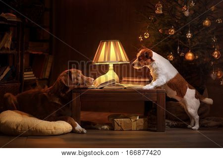 Nova Scotia Duck Tolling Retriever and Jack Russell terrier sitting in the lamplight