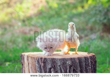 Live Chicken With Kitten