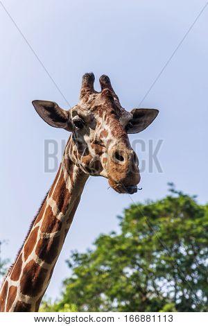 Closeup giraffe in Dehiwala Zoo. Colombo, Sri Lanka.