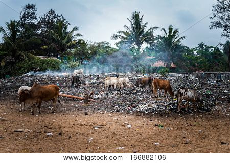 Holy cows feeding on waste in the trash in India. Indian garbage on the beach. Trash, debris, smoke, dirt.