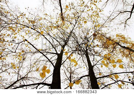 Autumn Tree With Yellow Leaves