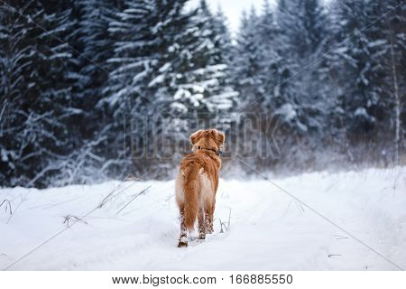 Dog In The Forest, In Winter, It Is Snowing