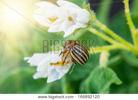 Colorado potato beetle eating potato flowers Pests destroy a crop in the field. Parasites in wildlife and agriculture.