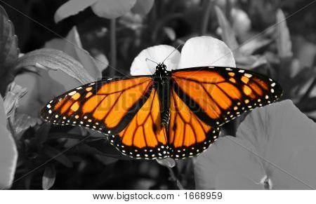 Monarch Butterfly On Black And White
