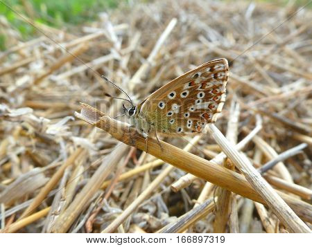 Photo of a brown butterfly sitting on a hasfield