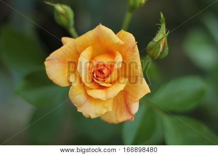 this yellow orange rose is on a rose busg