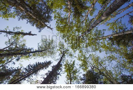 Trees and sky seen underneath from the forest floor at dawn