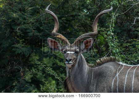 Greater kudu (tragelaphus) male close up photo