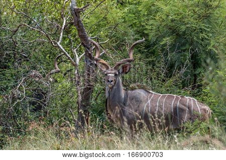 Greater kudu standing on the lookout for predators