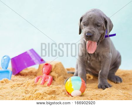 Purebred Grey Great Dane puppy that looks like it is on the beach